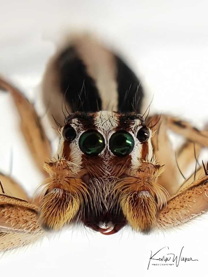 Another Jumping Spider by Kevin Wiener