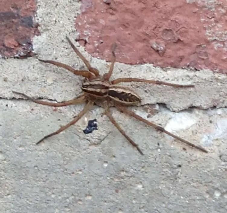 Rabid Wolf Spider rabidosa rabida brown spider with dark logitudinal stripes