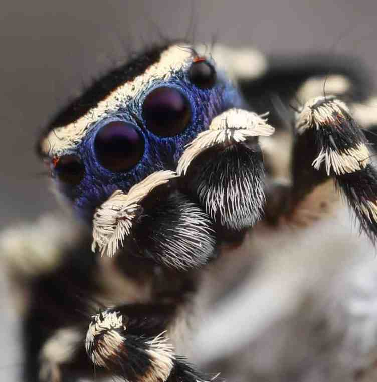 Peacock Jumping spider eyes closeup blue black white