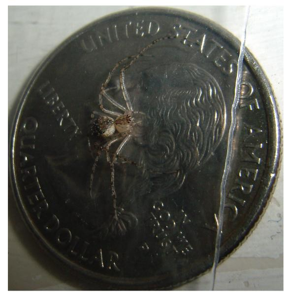 Pirate Spider size comparison with coin
