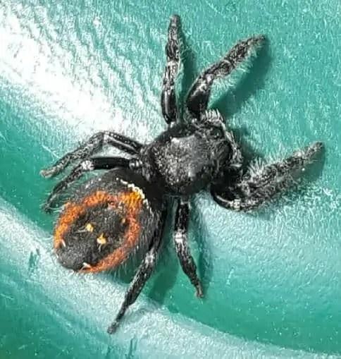 Phidippus johnsoni red black jumper spider