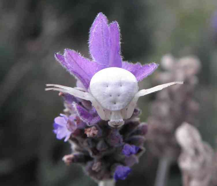 White Crab Spider on prurple flower