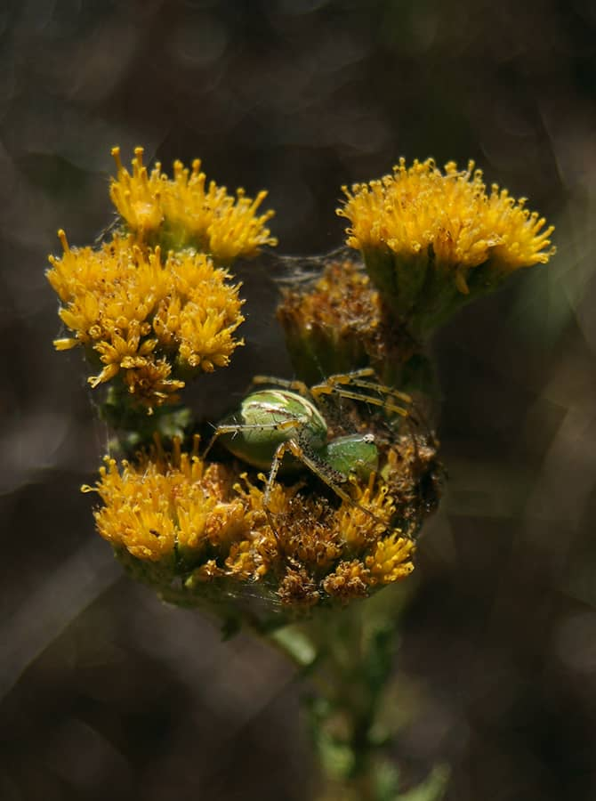 Green Lynx Spider in yellow flower