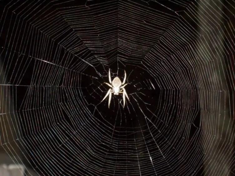 Garden Orb Weaver in web at night