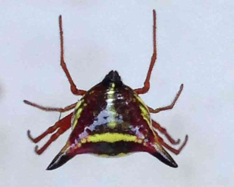 Arrow Shaped Micrathena from behind