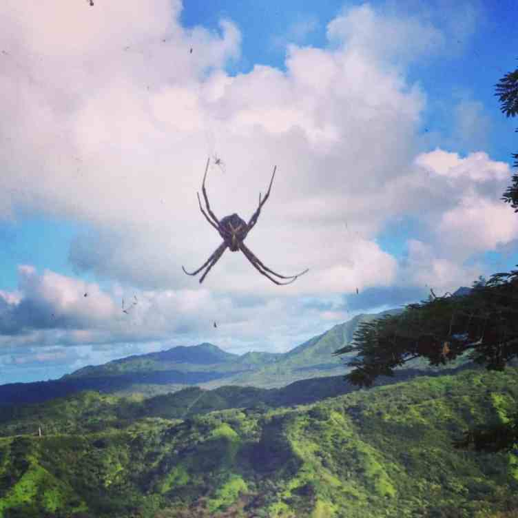 Argiope appensa in hawaii with landscap background