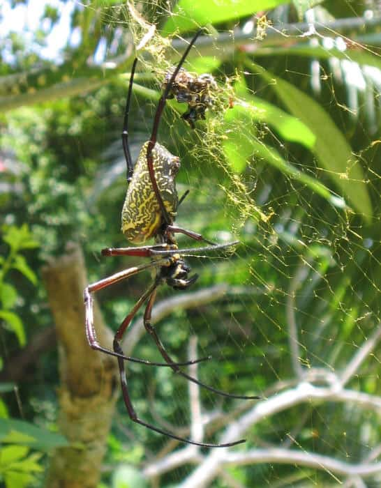Nephila sp. Malaysia
