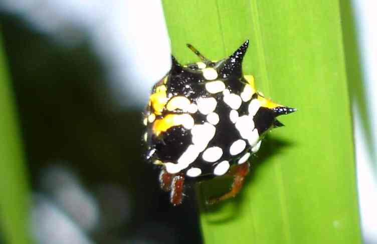 Jewelled Spider white yellow black spines