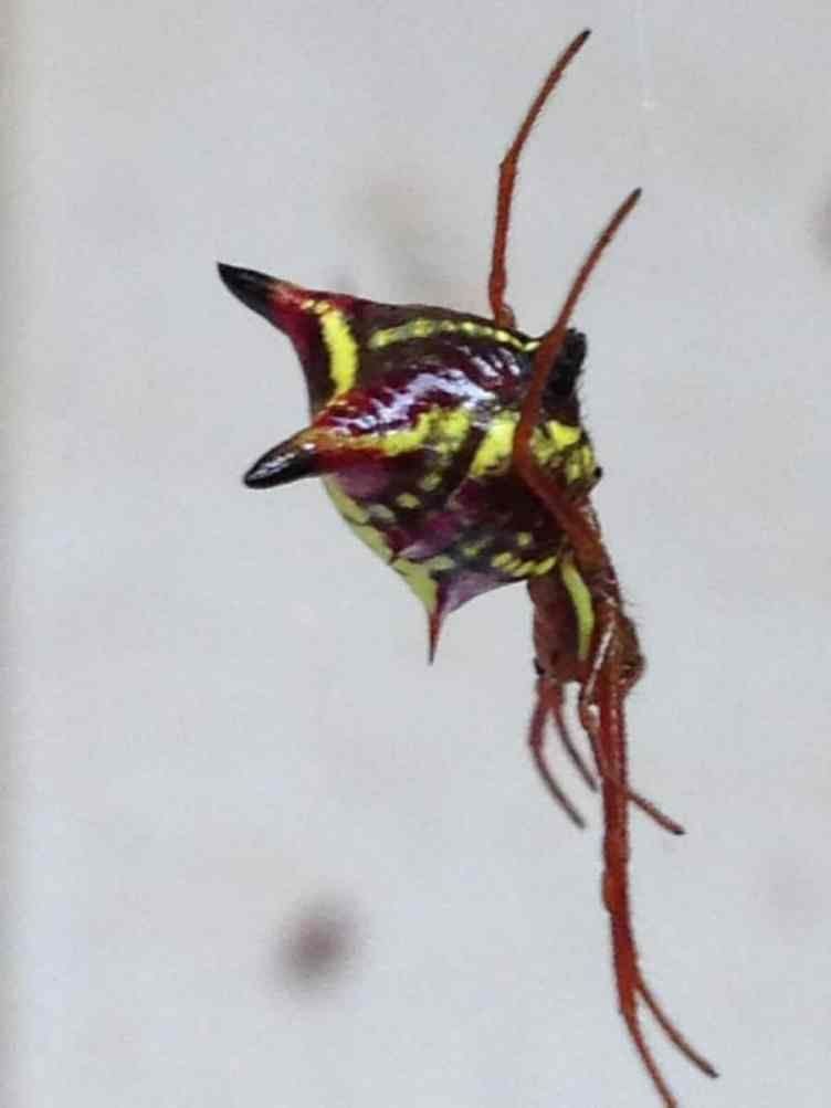 Arrow Shaped Micrathena from side