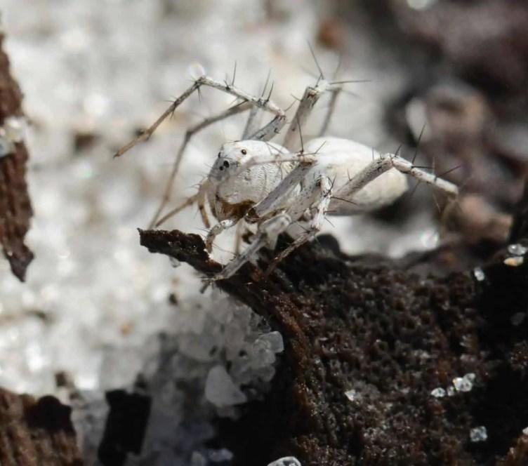 Lynx Spider white