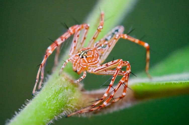 Lynx spider on plant orange