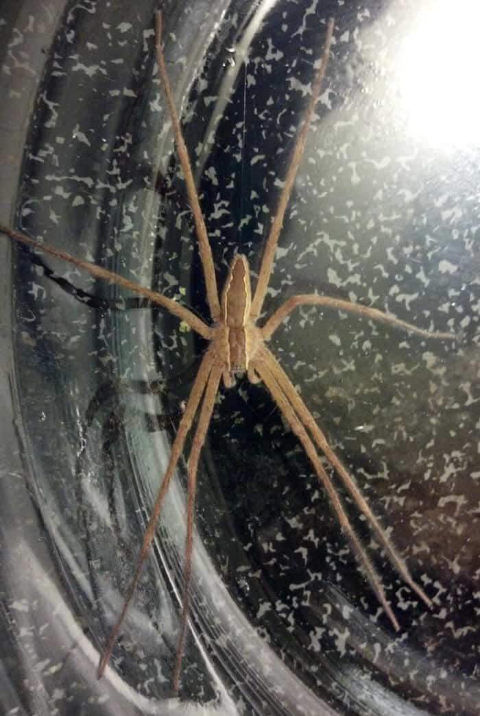 Nursery Web Spider pisauridae
