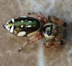 Paraphidippus aurantius
