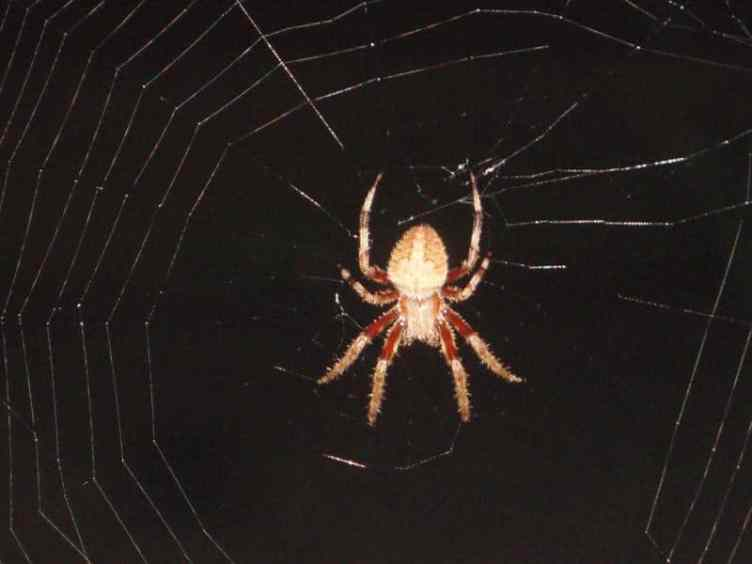 orb weaver in web at night