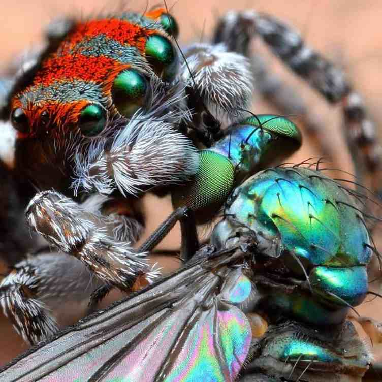 Peacock Jumping Spider with fly