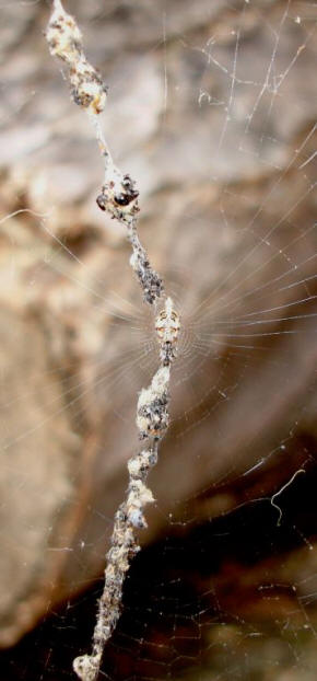 Cyclosa Conica with web
