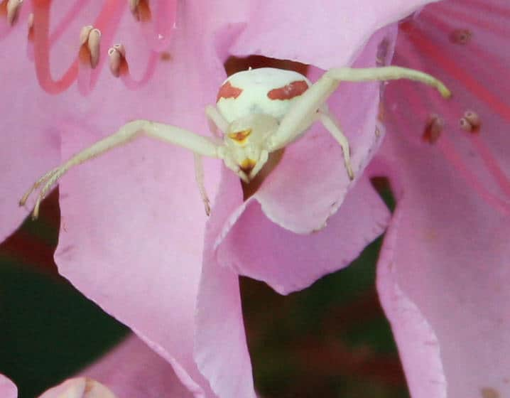 Goldenrod Spider in flower