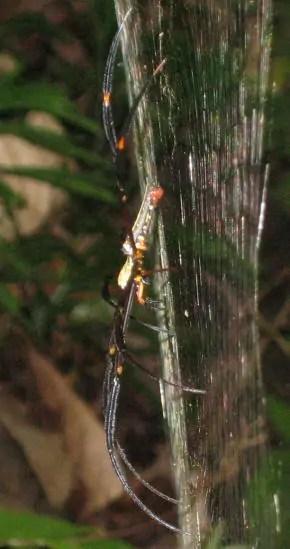 Nephila sp. Penang