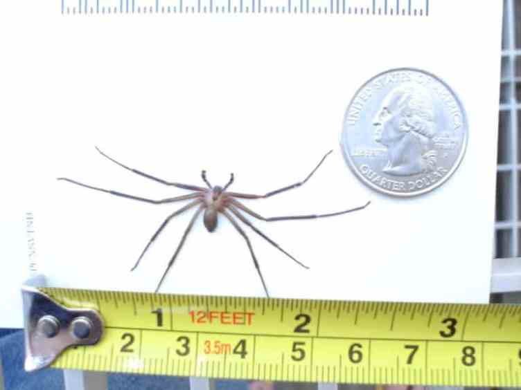 Brown Recluse showing size comparison measure