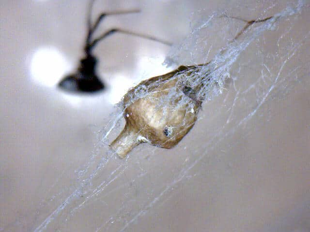 Cyclosa Conica egg sac