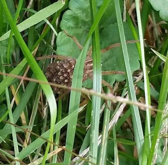 Rabid Wolf Spider rabidosa rabida with babies in grass