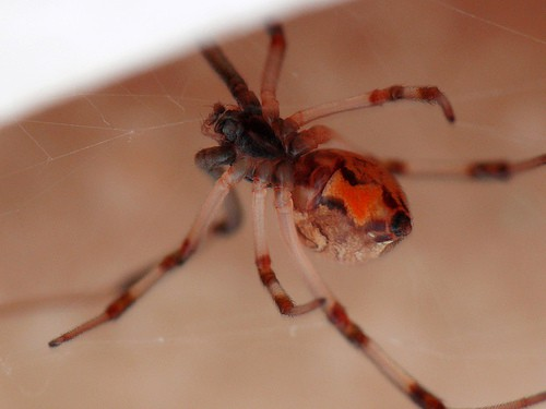 Lactrodectus sp. brown widow