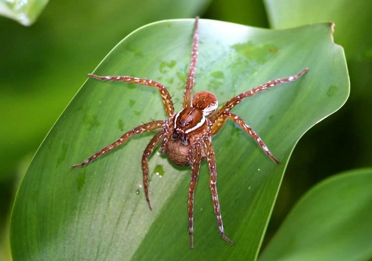 Raft Spider brown