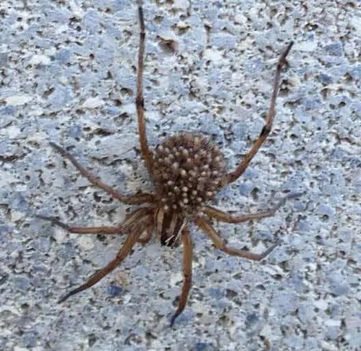 Rabid Wolf Spider rabidosa rabida with babies