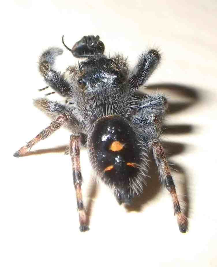 Jumping Spider with Insect black with orange dots