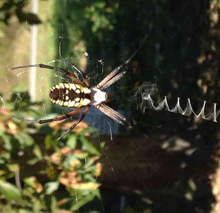 Black and Yellow Argiope in web
