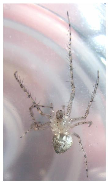 Pirate Spider