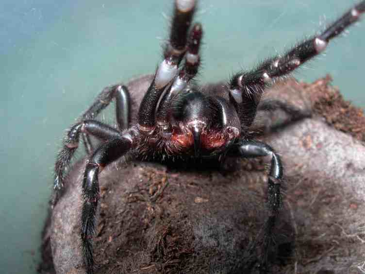 Funnel-web spider fangs closeup