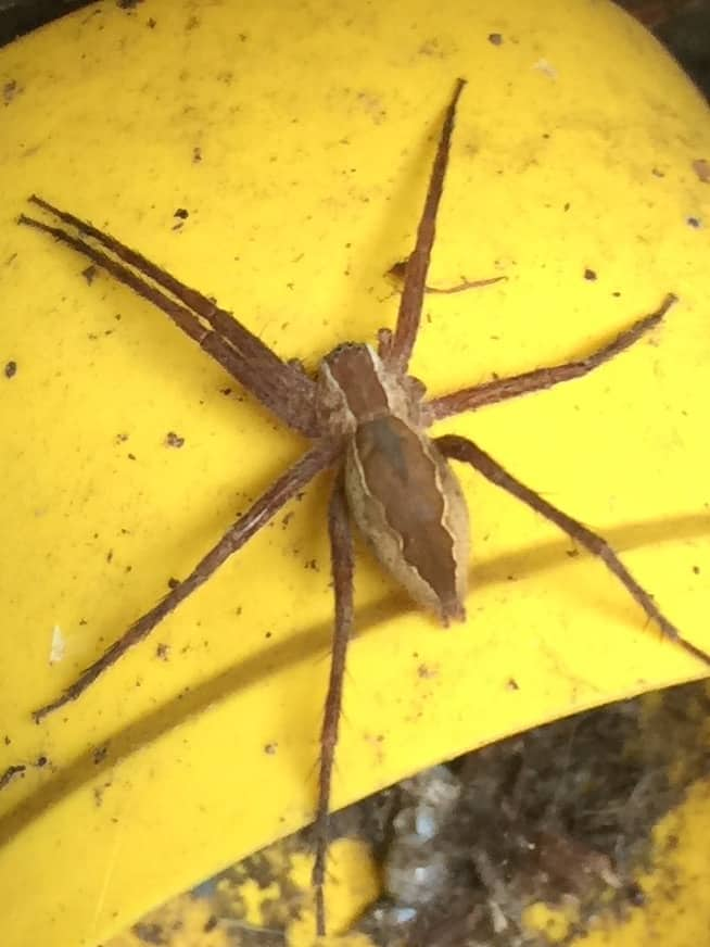 Nursery Web Spider pisaurina mira