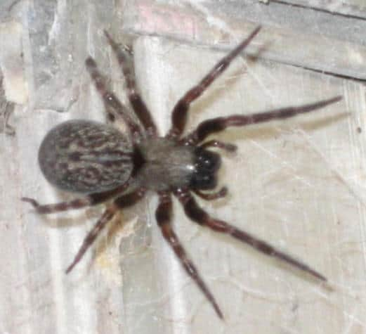 Brown House Spider2
