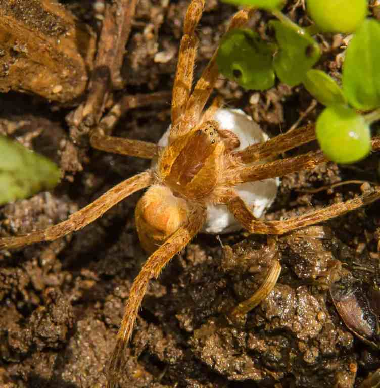 Nursery Web Spider pisauridae closeup
