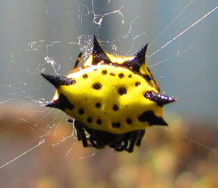 Jewelled Spider yellow black