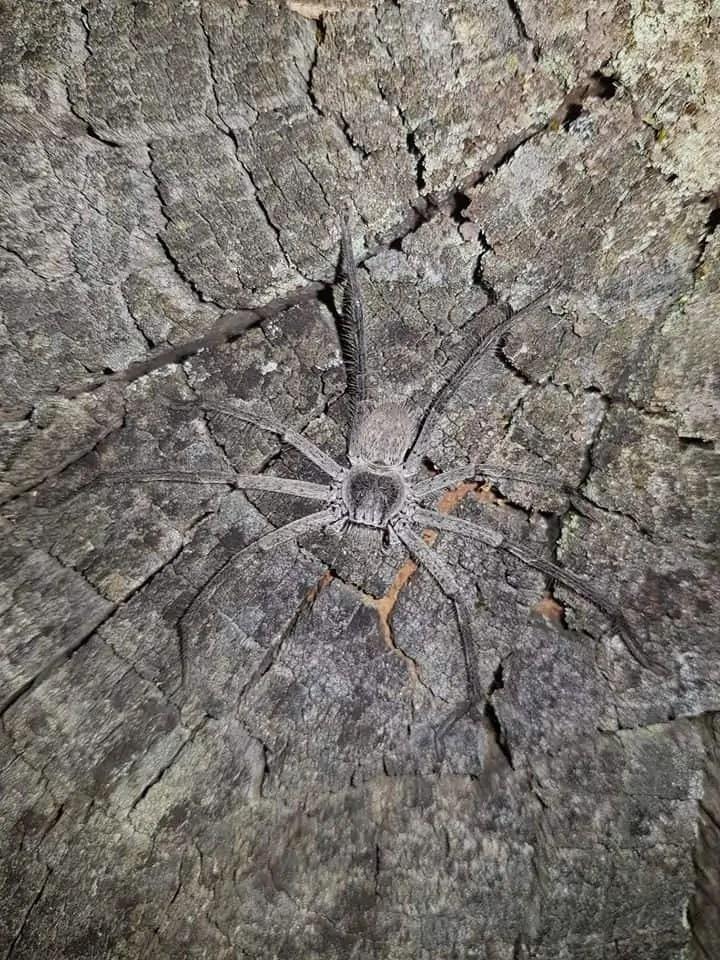 Huntsman spider. Western Australia