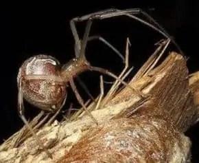 Brown Button Spider