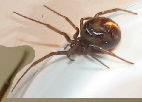False Widow New Zealand