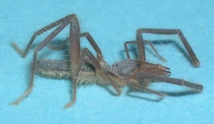 Solfugid / Camel Spider