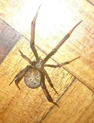 Black Button Spider