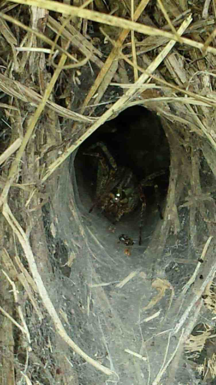 Grass Spider in funnel web