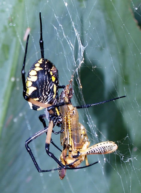 Argiope with cricket