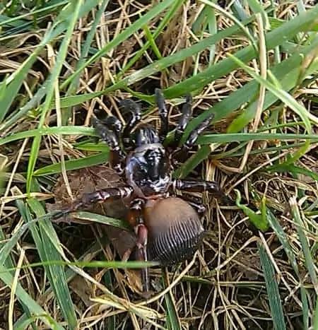 Ravine Trapdoor Spider