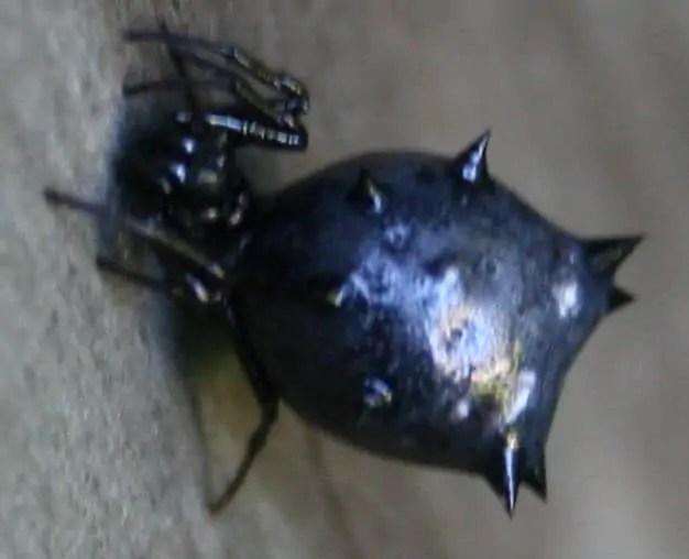 Spined Micrathena black