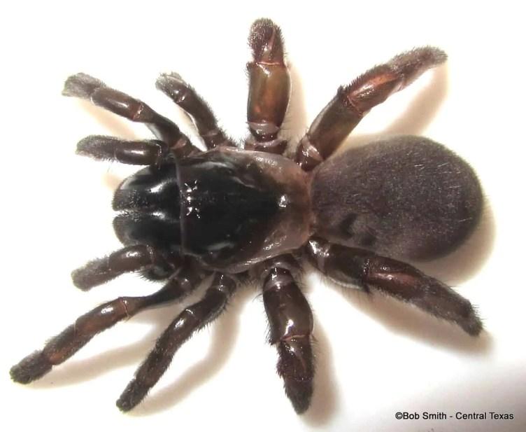 Mouse Spider australia closeup
