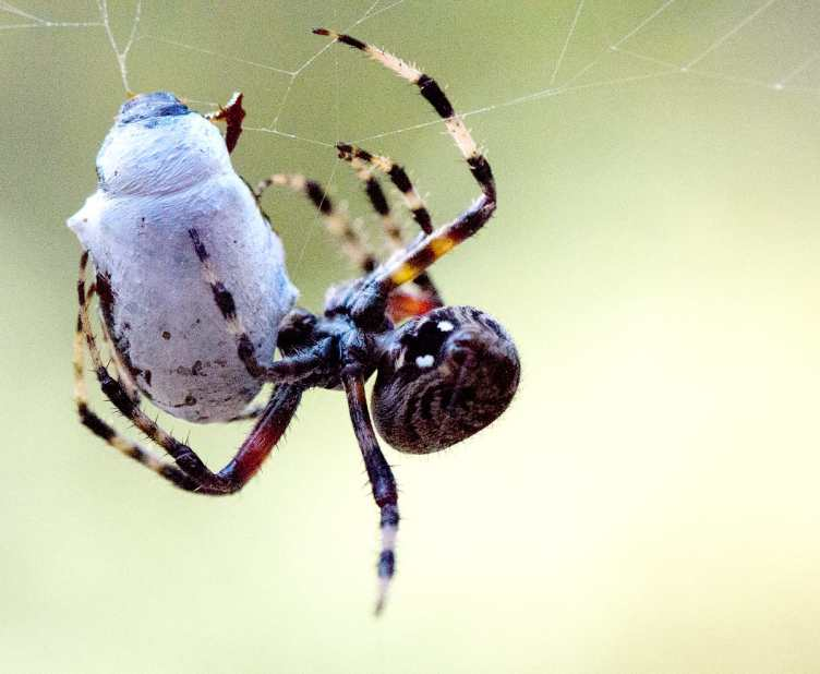 Orb Weaver Wrapping Prey