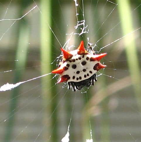 Jewelled Spider red spines white black