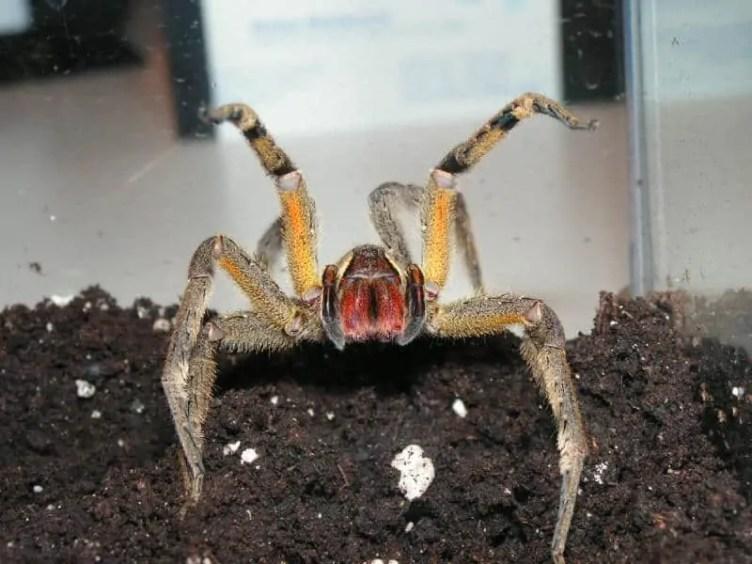 Phoneutria boliviensis-adult female