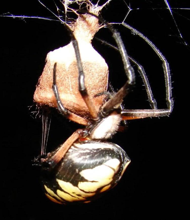 Black and Yellow Argiope large abdomen eggs pregnant